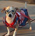 Patriotic Pampered Pocket Pooch Posing Proudly.jpg