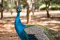 Pavo Real en Parque Zoologico Barquisimeto.jpg