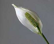 Peace lily - 2.jpg