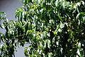 Peach Tree 5 2013-06-30.jpg