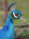 Peacock portrait03 - melbourne zoo.jpg