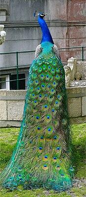 Pfau (Pavo cristatus), ♂