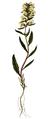 Pedicularis lapponica, Flora Danica 2.png