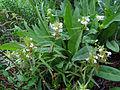 Pedicularis racemosa (15221197455).jpg