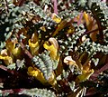 Pedicularis semibarbata ssp charlestonensis 7.jpg