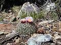 Pediocactus simpsonii.jpg
