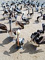 Pelícanos grupo.jpg