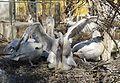 Pelecanus crispus mating tiergarten Schönbrunn.jpg