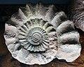 Peltoceras - Muséum de Grenoble inv MHNGr.PA.10278.jpg
