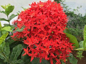 Ixora - Image: Pentas Star Flower