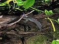 Periophthalmus barbarus.jpg