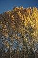 PermaLiv ospene i gardskoronaen 13-10-20.jpg