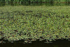 Persicaria - Persicaria amphibia