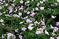 Petunia Wave Misty Lilac 4zz.jpg