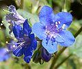 Phacelia parryi flower 2.jpg