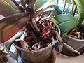 Phalaenopsis cultivars - white colour - 3.jpg