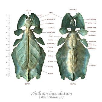 Phasmatodea morphology.jpg