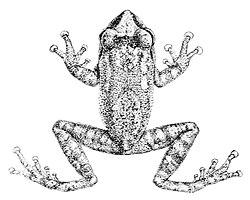 Philautus signatus.jpg