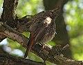 Phoenicurus ochruros, Bilosarayska kosa, Donetsk - Ab bird 010.jpg