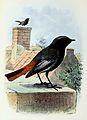 Phoenicurus ochruros 1873.jpg