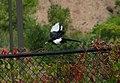 Pica hudsonia (black-billed magpie) (Ridgway, Colorado, USA) 2.jpg