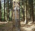 Picea abies 02 ies.jpg