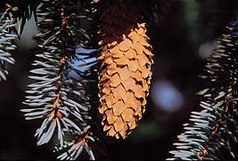 Picea pungens cone.jpg