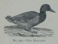 Picture Natural History - No 170 - The Mallard.png