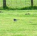 Pied Wagtail at Lochranza - geograph.org.uk - 1563942.jpg