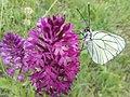 Pieride del biancospino su Orchidea piramidale.jpg
