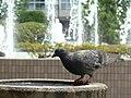 Pigeon in Niihama Central Park - panoramio.jpg