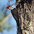 Pileated Woodpecker- Corkscrew Swamp Sanctuary, Naples FL (4342547924).jpg