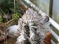 Pilosocereus leucocephalus-IMG 6729.JPG