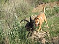 Pina y Nínive corriendo (Aguascalientes).jpg
