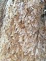 Pinales - Sequoiadendron giganteum - 10.jpg