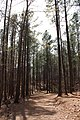 Pines - panoramio (20).jpg