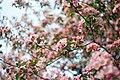 Pink-blossom-novosibirsk (Unsplash).jpg