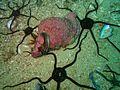Pink lady whelk and serpent skinned brittlestars at Dangerous Doug Reef P5280332.jpg