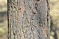 Pinus-sylvestris-08-fws.jpg