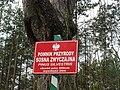 Pinus Silvestris Stankowizna 2008.JPG