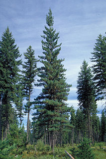 Western white pine species of plant, Western White Pine