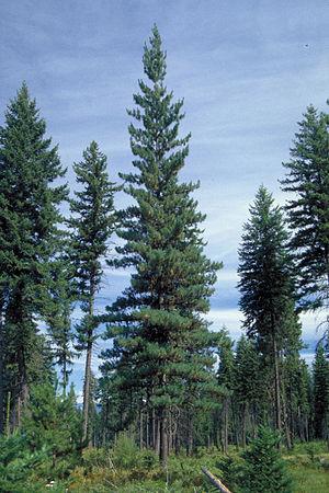 Western white pine - Western white pine (center)