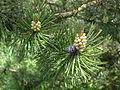 Pinus mugo 4 BOGA.JPG