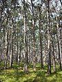 Pinus nigra (subsp. nigra) sl6.jpg