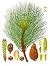Pinus nigra - Köhler–s Medizinal-Pflanzen-242.jpg