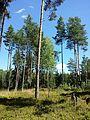 Pinus sylvestris sl2.jpg