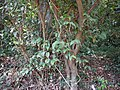 Piper ¿ species ? (17305917716).jpg