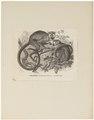 Pithesciurus sciureus - 1700-1880 - Print - Iconographia Zoologica - Special Collections University of Amsterdam - UBA01 IZ20200208.tif