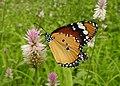 Plain Tiger Danaus chrysippus female by Dr. Raju Kasambe DSCN8477 (15).jpg