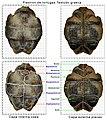 Plastron-tortuga-huesos-y-p.jpg